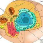 Célula Eucariota: Conceptos, Estructura, Funciones, Tipos y Ejemplos