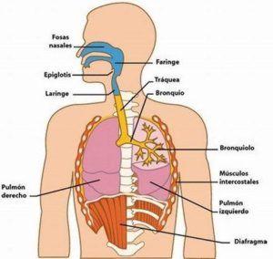 , Imágenes del sistema respiratorio con explicación, Estudianteo